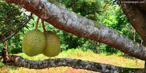 Horizontal durian tree