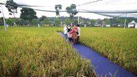 maeps-paddy-field