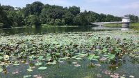 Water lilies at the lake at Perpustakaan Shah Alam.